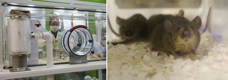 (上圖) 左:國研院動物中心建立檢疫及淨化機制,有效接收全世界種源資源,為全球基因改造鼠交流品質把關;右:首航引進之Angpt2小鼠。