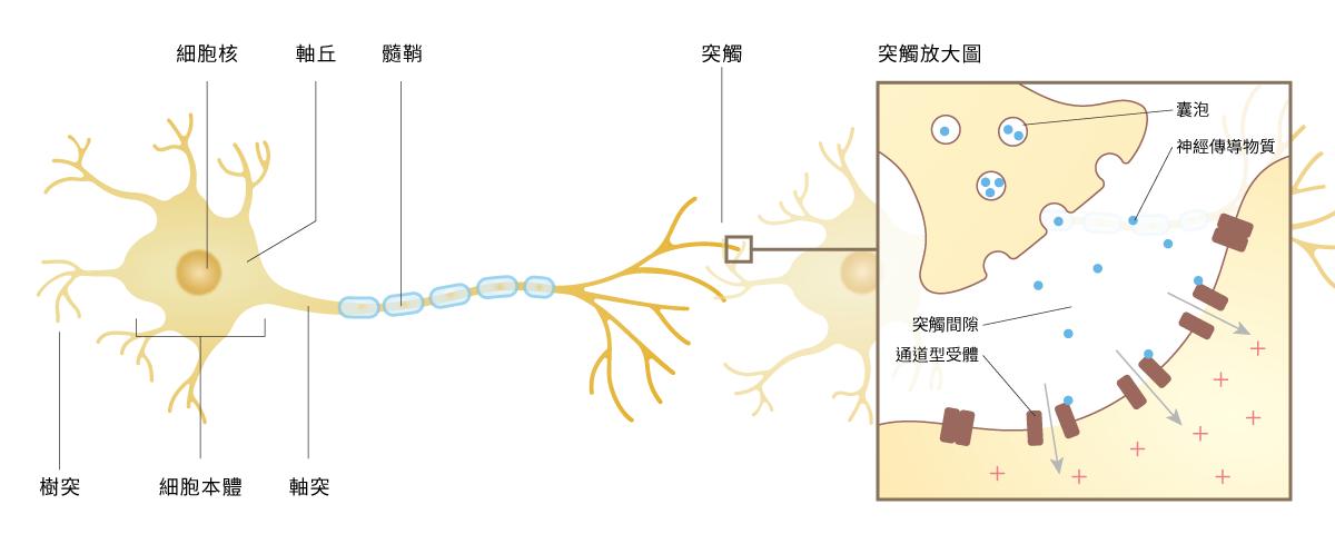 神經細胞結構包含細胞本體、樹突、軸突,軸突靠近細胞本體的隆起處為軸丘,軸突上被神經膠細胞(寡突膠細胞或許旺細胞)包裹、形成絕緣層的部份稱為髓鞘,突觸是神經細胞間聯絡的構造。(圖片來源:國研院動物中心)