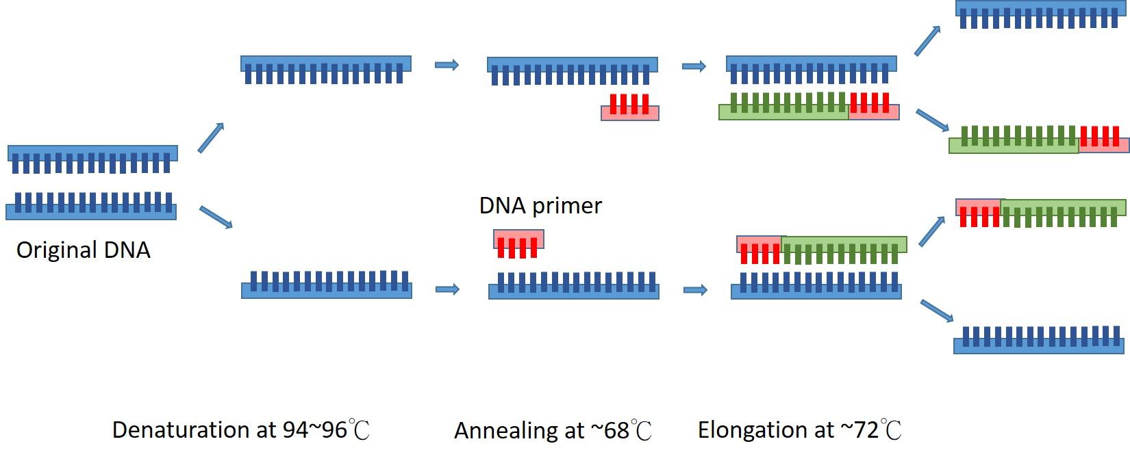 PCR技術原理